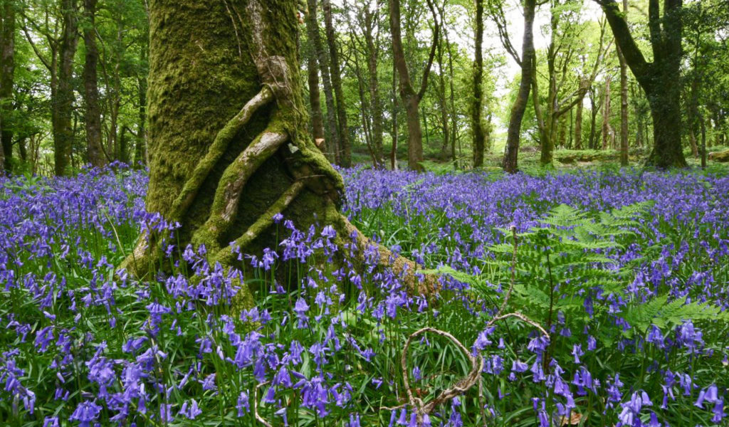 Celtic rain forests